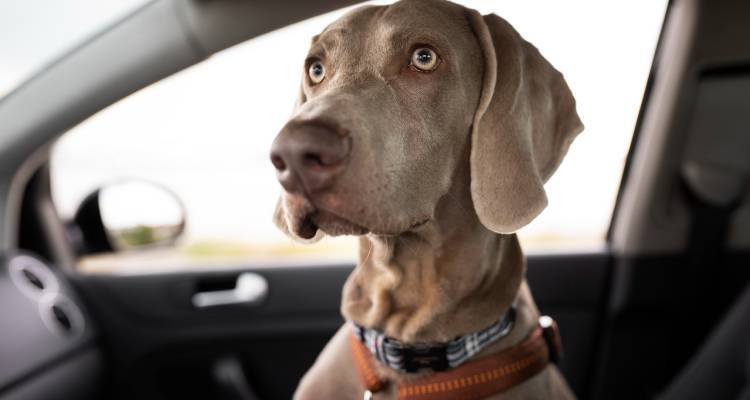 Dog Seatbelt In A Car What To Look For 2
