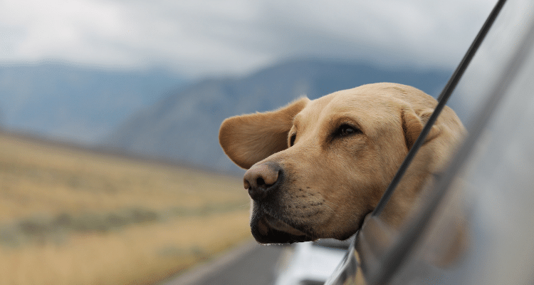 Dog Seatbelt In A Car What To Look For