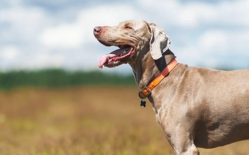 dog collar wireless fence